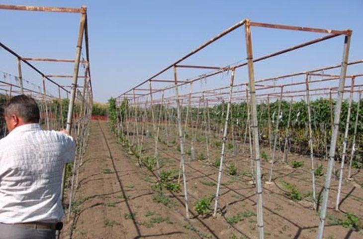 П-образные опоры для винограда