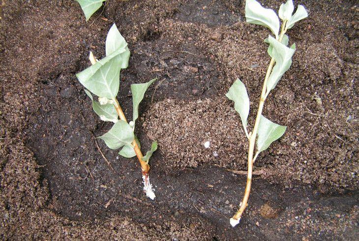 Размножение лоха корневыми отростками