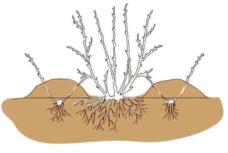 Размножение лоха отводками