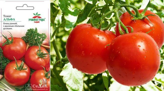 Сорт томатов Альфа