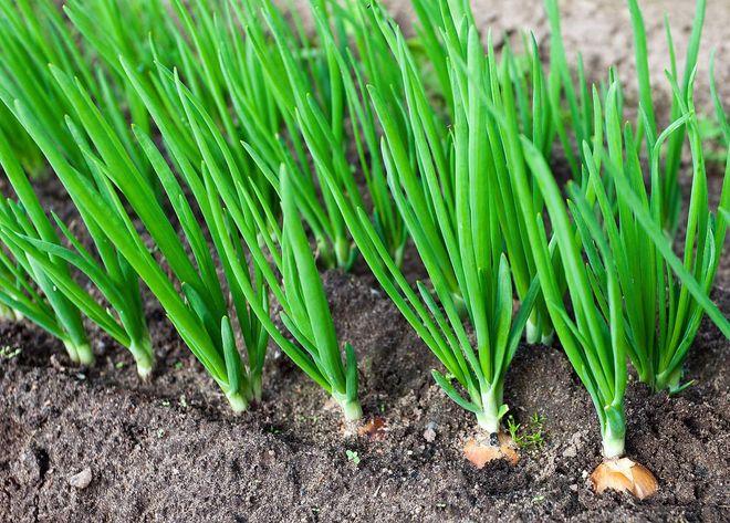 Яркий зеленый лук