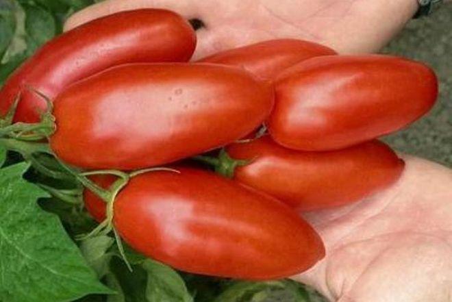 Сорт томатов дамский угодник