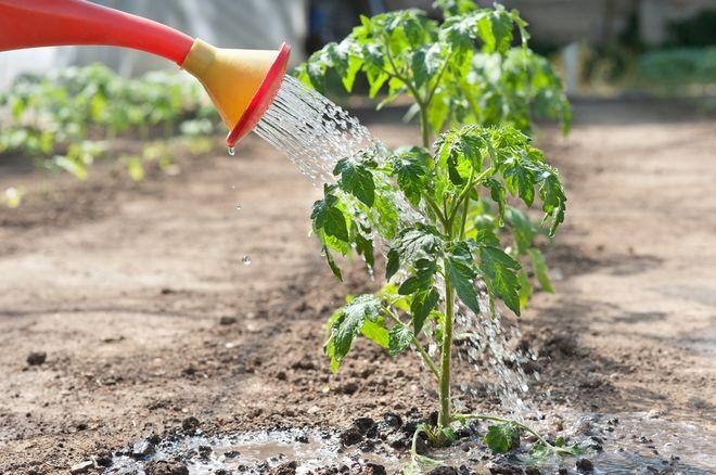 Полив помидоров из лейки