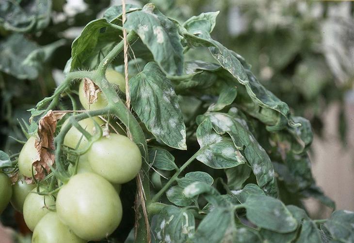 Мучнистая роса на помидорах