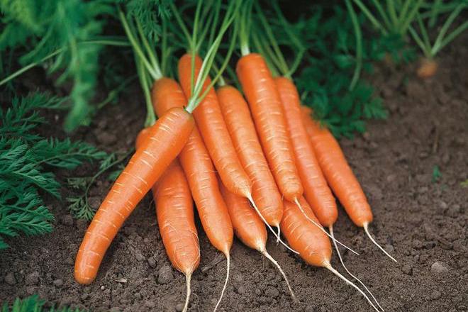 Морковь Медовая