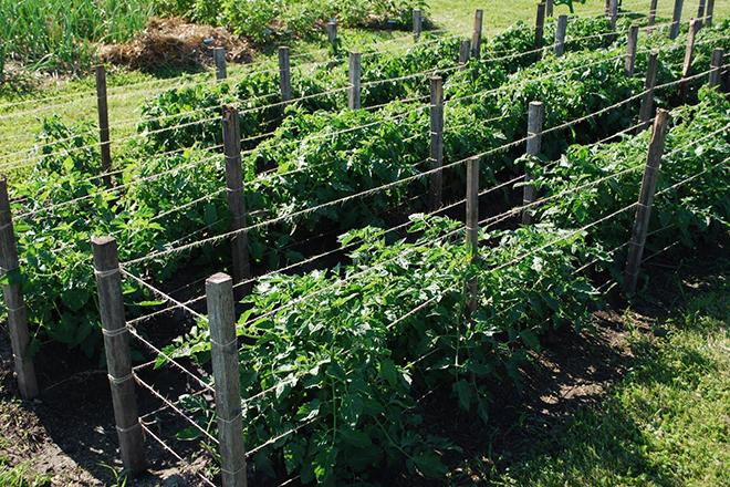 Подвязка помидоров на горизонтальные шпалеры