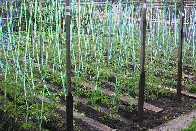 Подвязка помидоров на вертикальные шпалеры