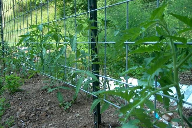 Подвязка помидоров на сетке