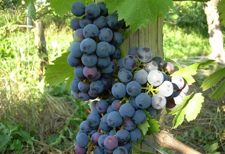 Гамбургский черный мускатный виноград