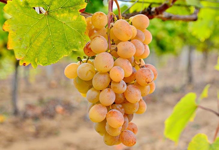 Янтарный золотой мускатный виноград