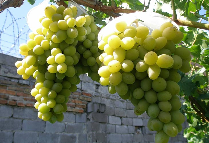 Диевский мускатный виноград