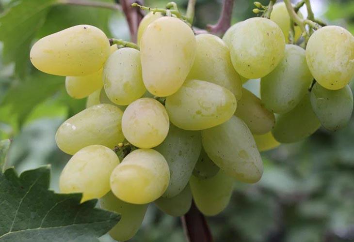 Ливадия мускатный виноград