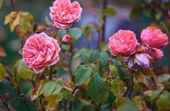 У розы желтеют листья