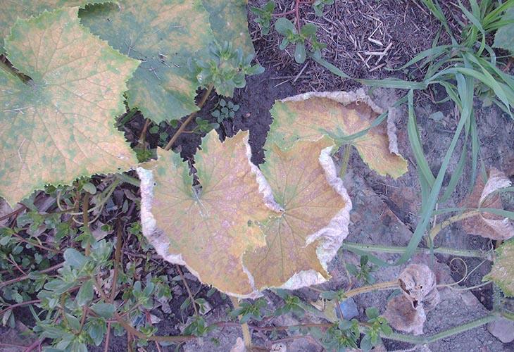 Сухие листья огурцов