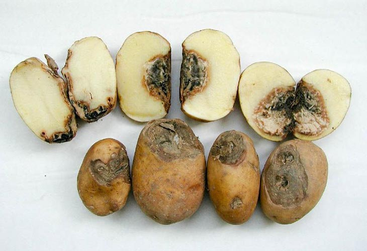 Фомоз на картофеле