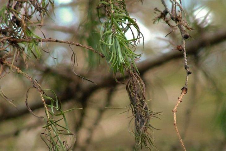 Шютте лиственницы (Мериоз)