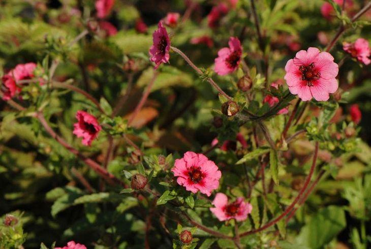 Розовая лапчатка