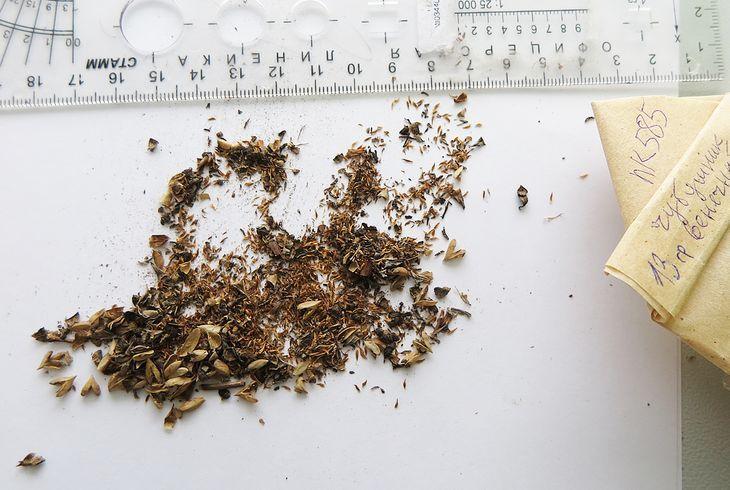 Семена чубушника