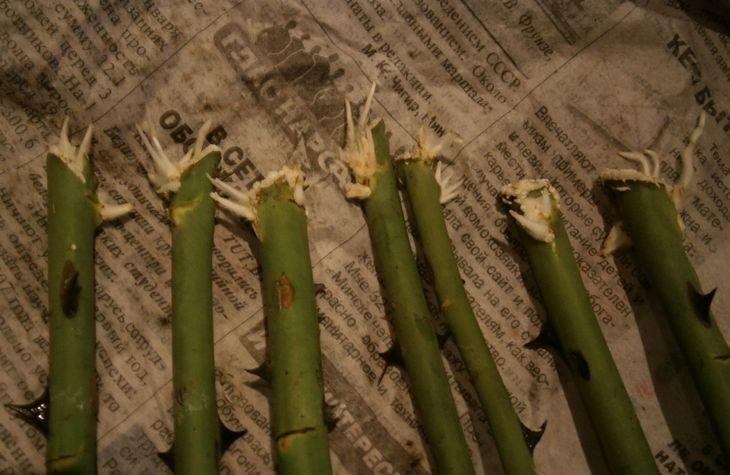 Размножение розы методом Буррито