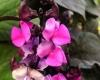 Долихос пурпурный