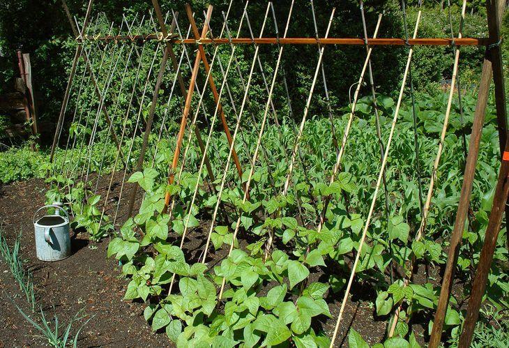 Как растет фасоль