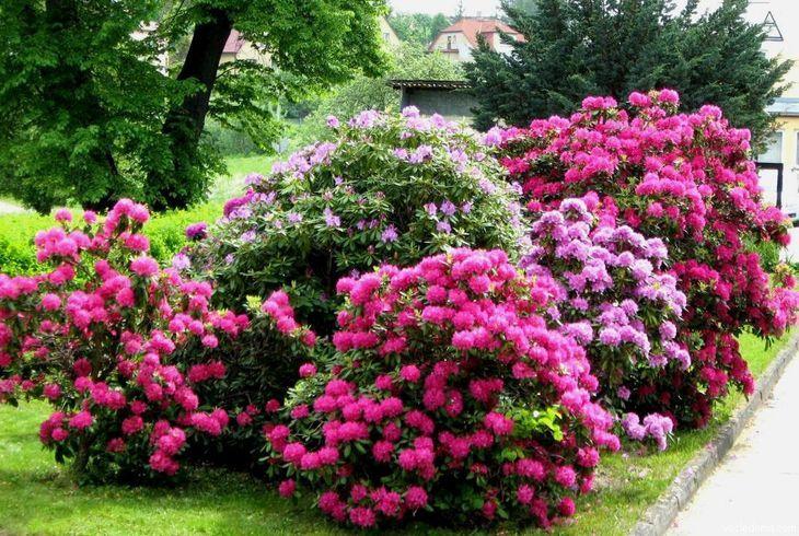 Кустарники цветут