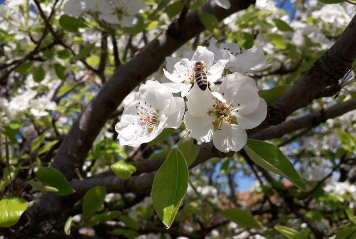 Пчела на груше