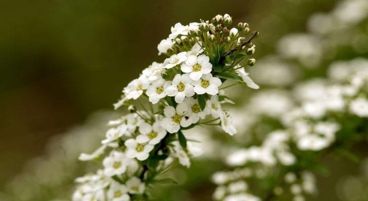 Цветок Алиссум
