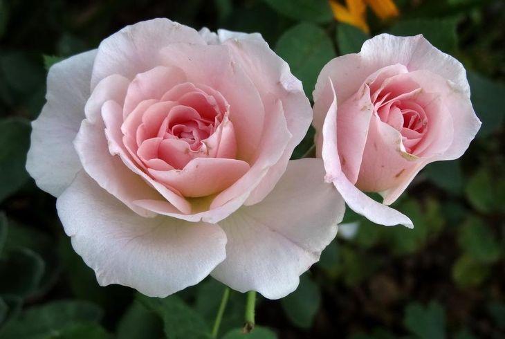 Роза моден бланш