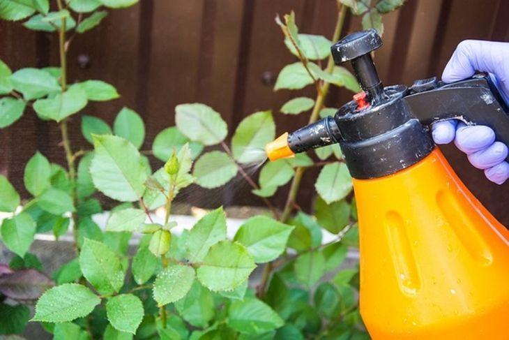 Обработка розы от вредителей