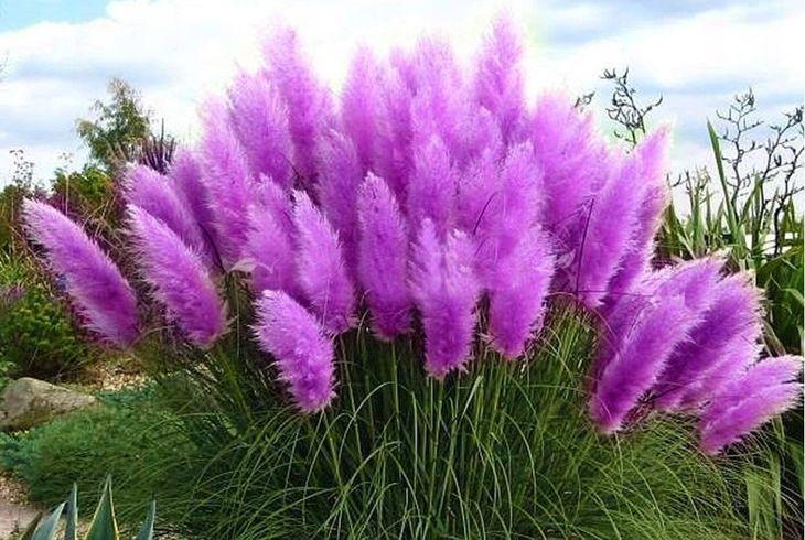 Сиреневая пампасная трава