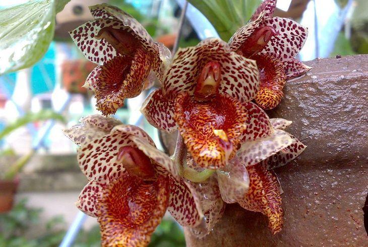 Катасетум (Catasetum)