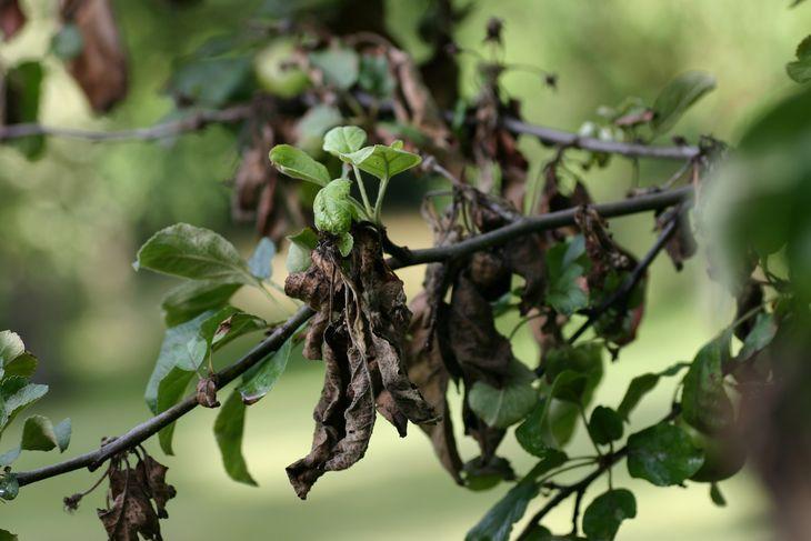 Заболевания яблонь и их лечение