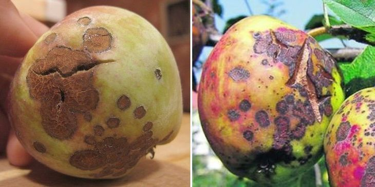 Звездчатость плодов