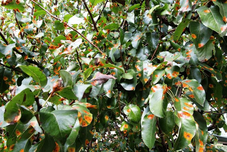 Бурая пятнистость (филлостиктоз) яблони