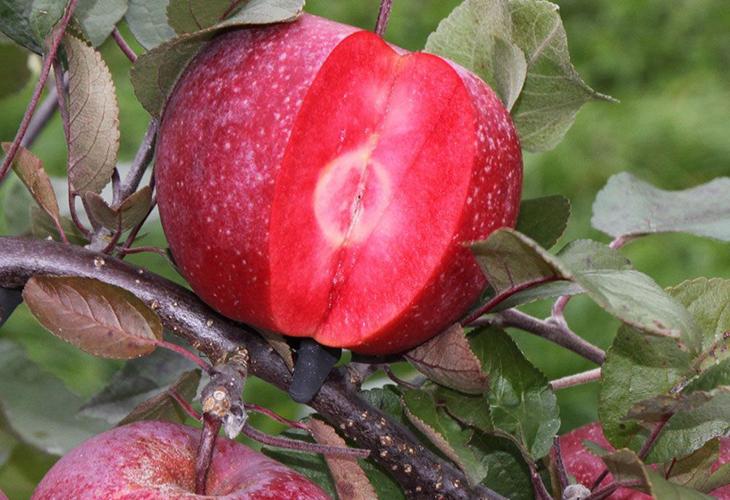 Яблоки Ред Кетти