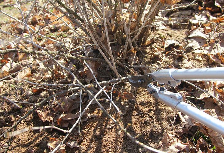 Санитарная обрезка кустов осенью