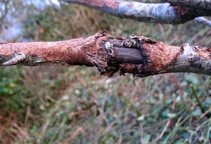Стволовая гниль на груше