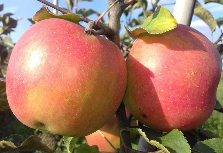 Яблоки Чемпион Арно