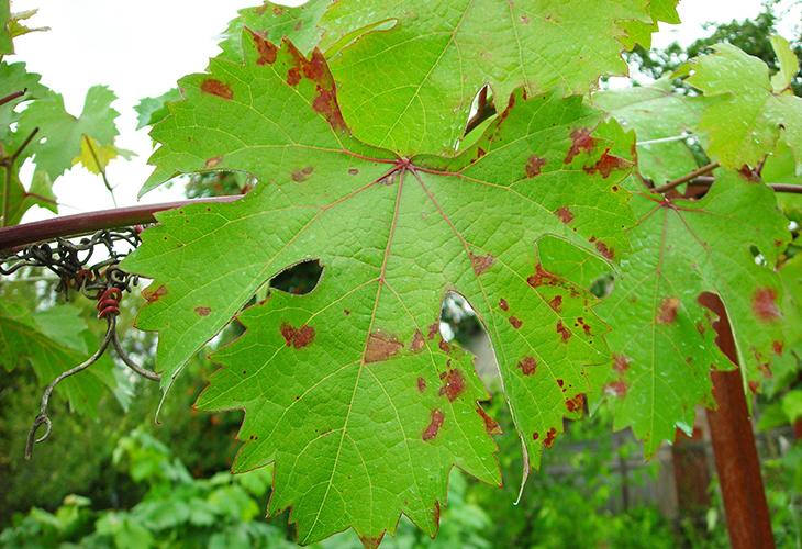 Мильдью на винограде