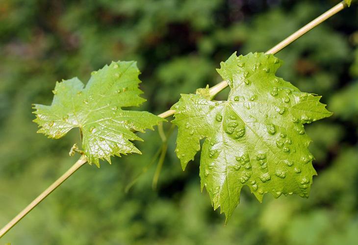 Виноградный зудень на винограде
