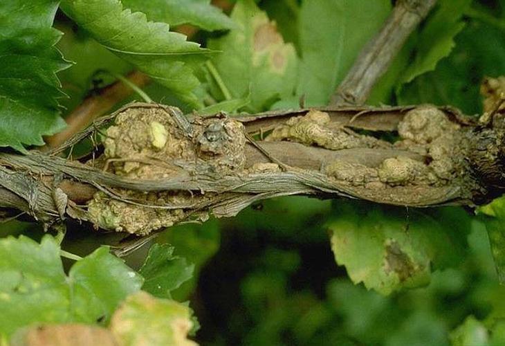Бактериальный рак на винограде