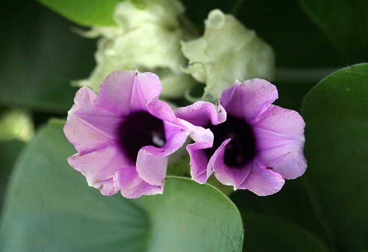 Роза гавайская