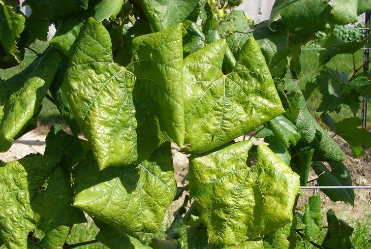 Скручивание листьев винограда