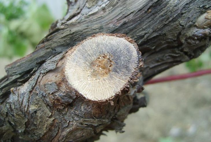 Некроз сосудов древесины