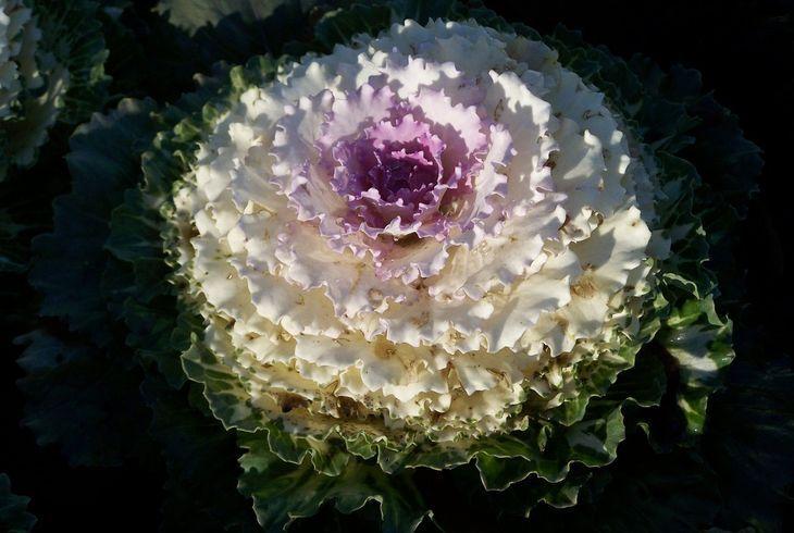 Декоративная капуста Принцесса