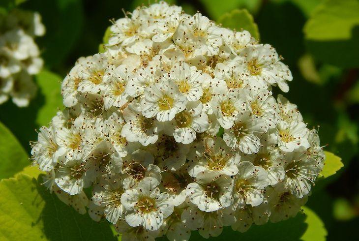 S. betulifolia