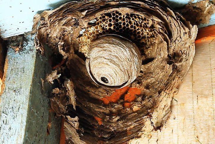 Осиное гнездо в доме