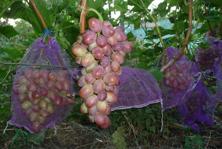 Сетка на винограде от ос