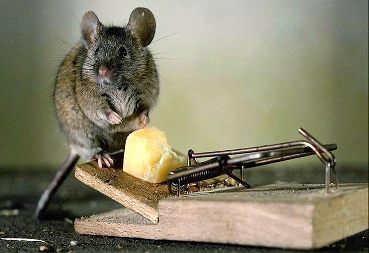 Мышь и мышеловка